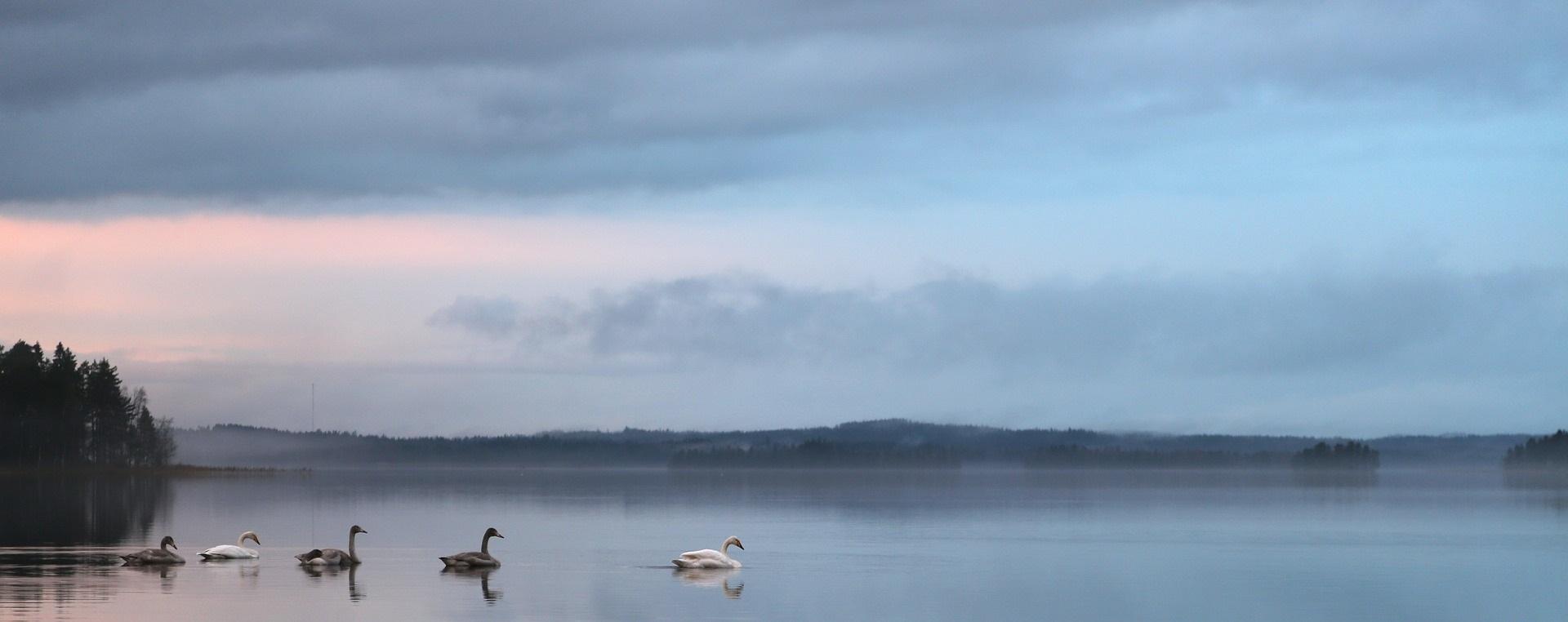 Blå bakgrundsbild, svanar i sjö.