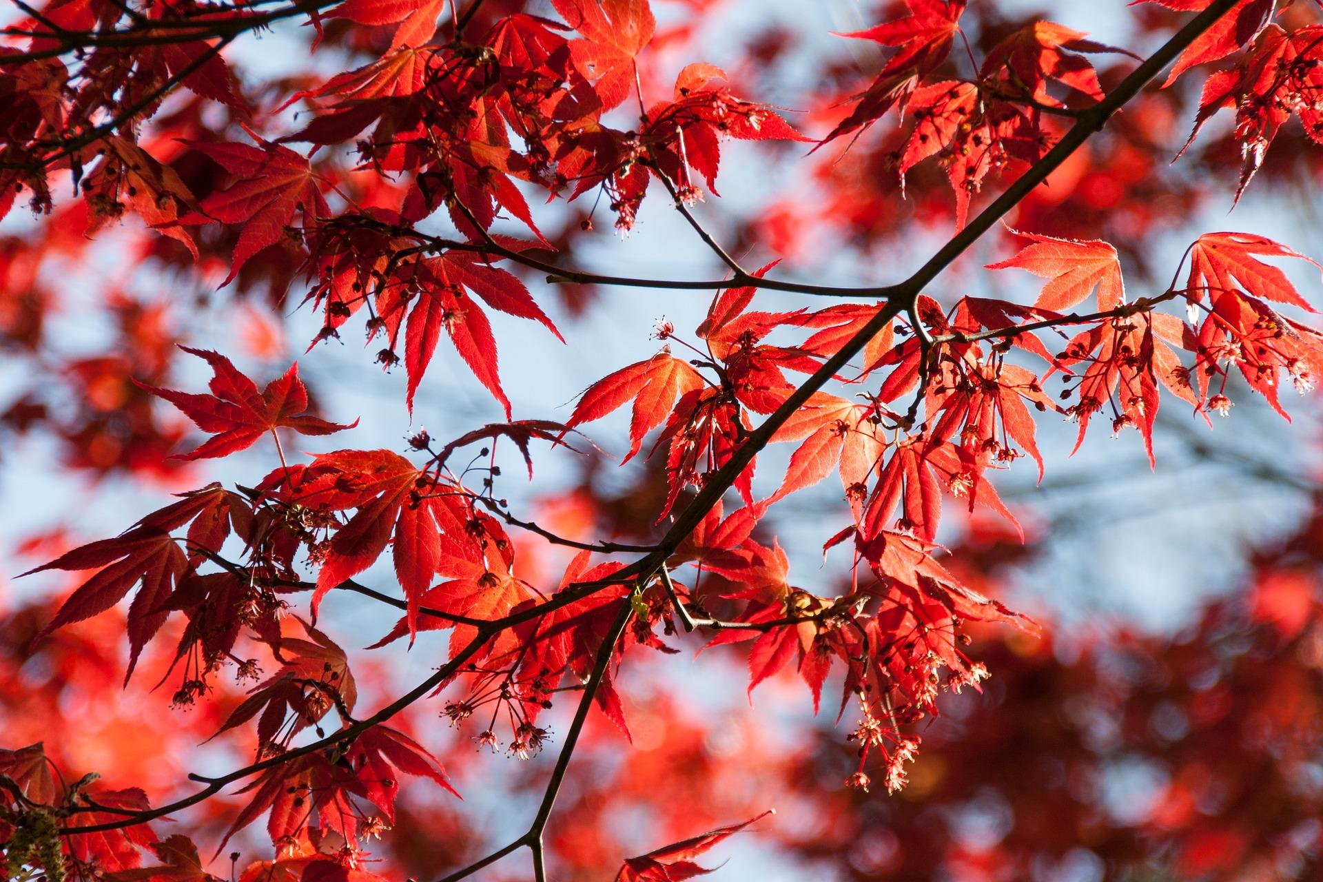 Gren med röda blad.