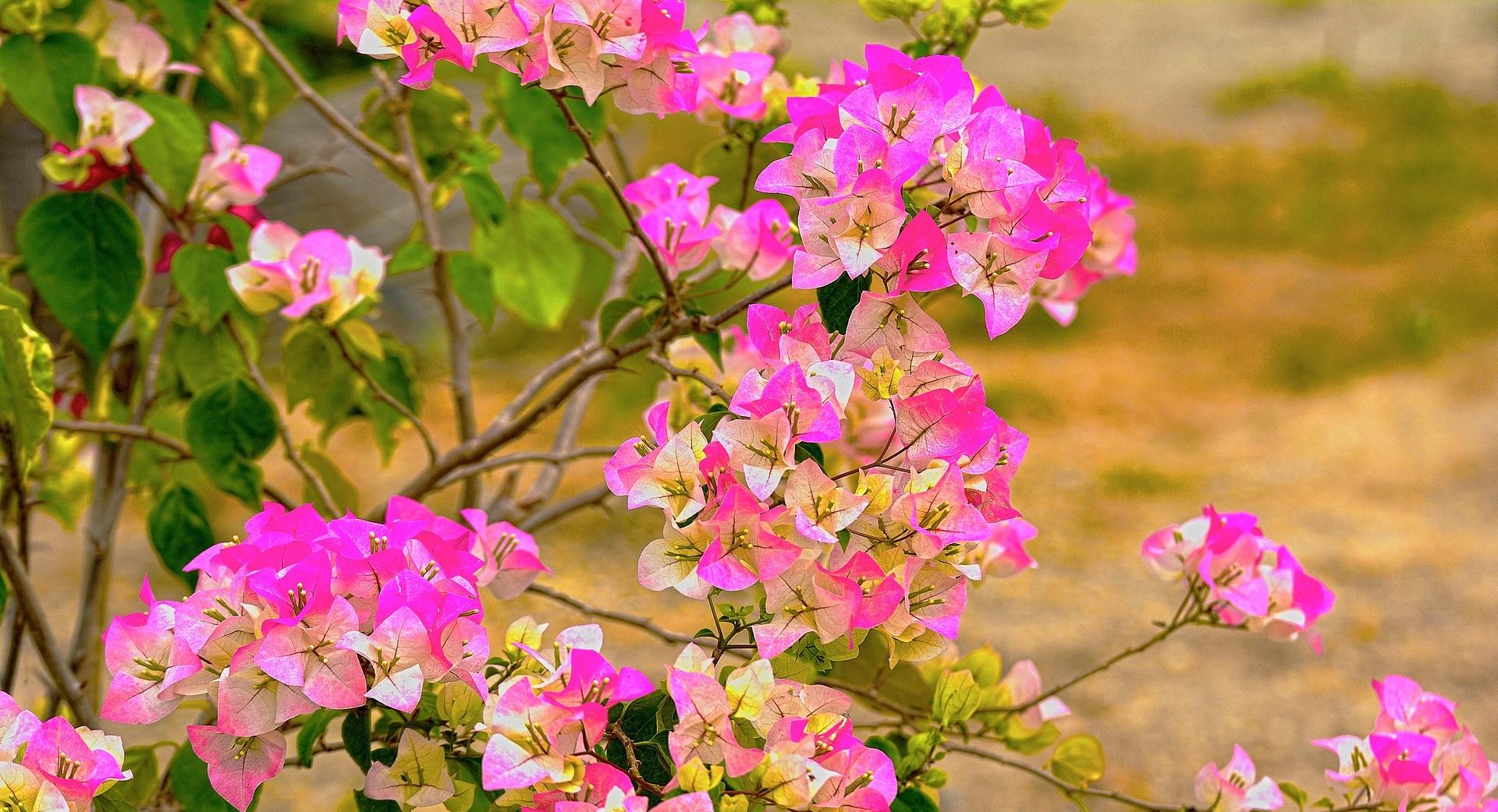 Rosa blommor på buske i naturen.