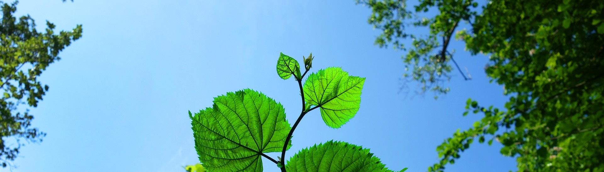 Gröna löv mot blå himmel.