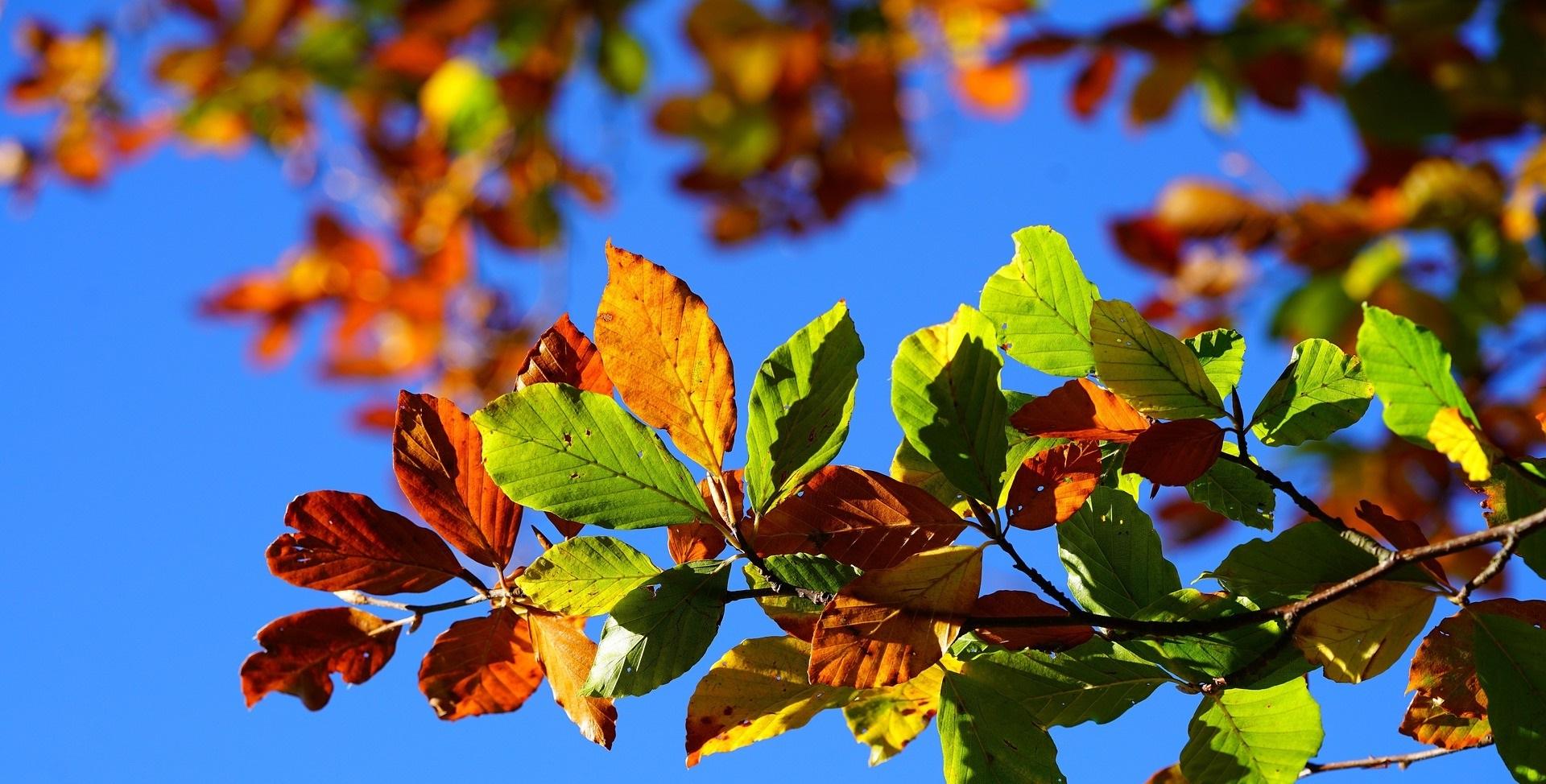Gröna och höstfärgade löv på gren mot blå himmelsbakgrund.